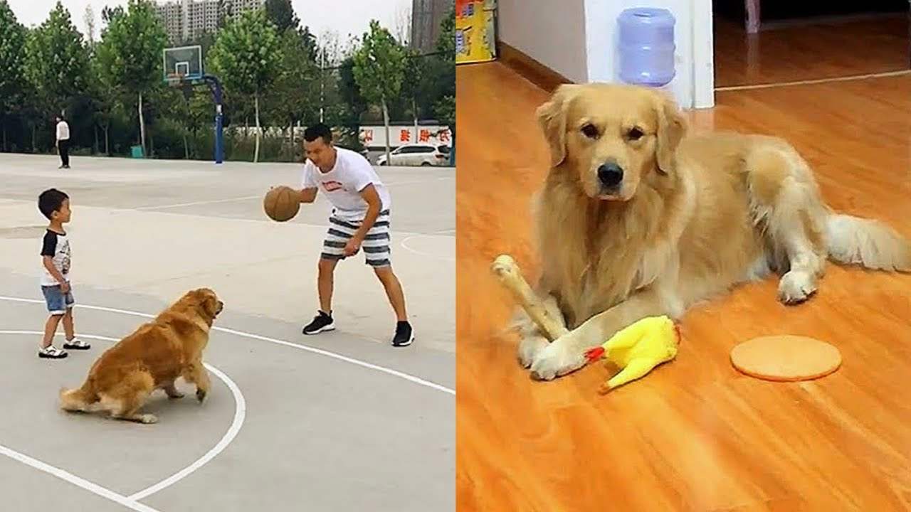Golden Retriever was scared into neurosis😱Funny dog playing basketball🥳