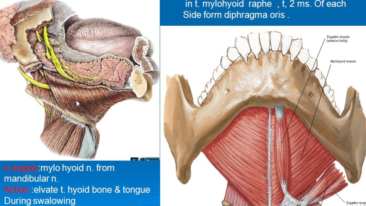medium resolution of diagram of the throat bone