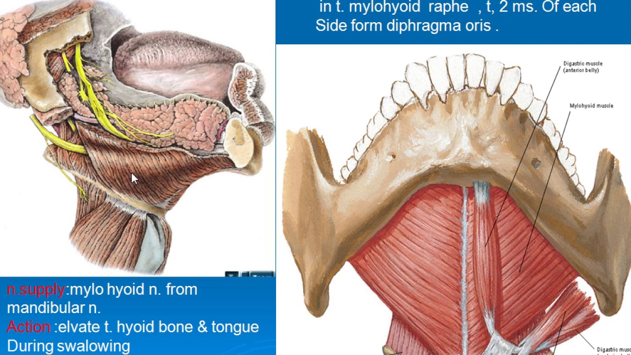hight resolution of diagram of the throat bone