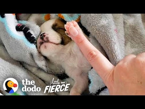 Teeniest Bulldog Puppy Couldn't Stop Spinning in Circles | The Dodo Little But Fierce
