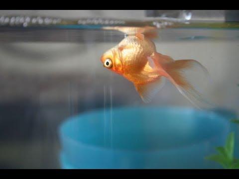 Ошибки начинающих аквариумистов! Основные ошибки начинающих аквариумистов, причины гибели рыбок!