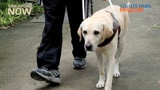 Singaporeans Not Used To Guide Dogs (guide Dogs For The Blind Pt1)