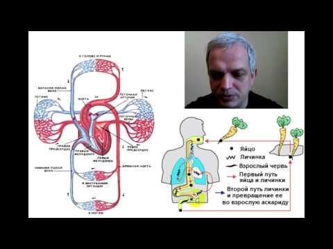 Миграция личинки аскариды в организме человека