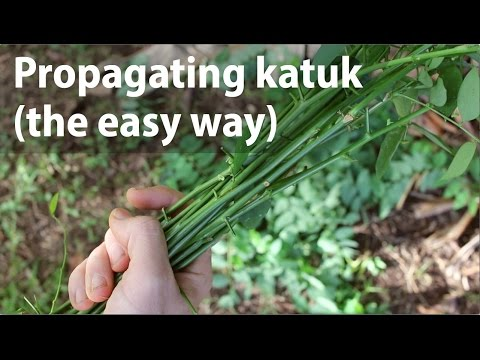 Propagating Katuk (the easy way)