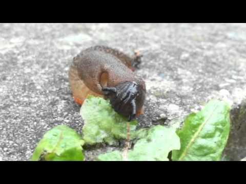 Slug Eating A Leaf