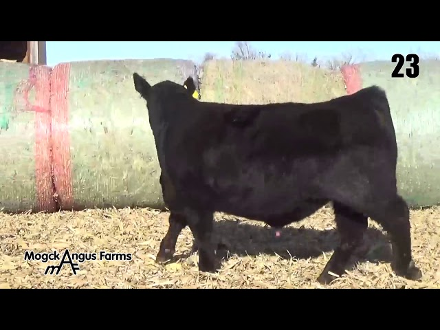 Mogck Angus Farms Lot 23