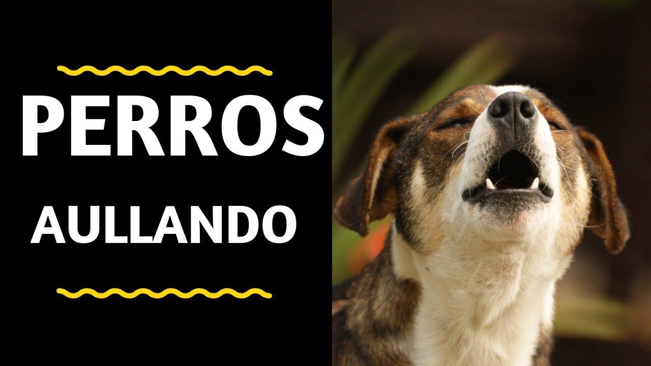 Perros Aullando Fuerte - Perros aullando como lobos- Aullidos de Perros- Sound effect