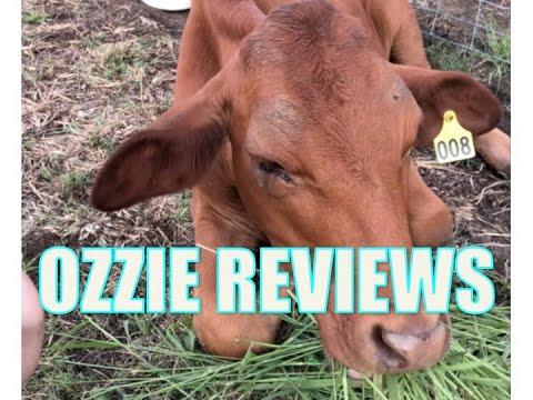*UPDATE* Nursing A Sick Steer With 3 Day Virus (bovine Ephemeral Fever In Cow Cows Steers Cattle)