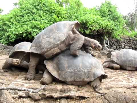 Sexually Frustrated Male Galapagos Land Tortoises