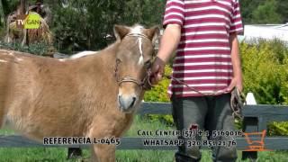 2016:<b>YEGUA</b> (PONI), MARINILLA, ANTIOQUIA. L-0465
