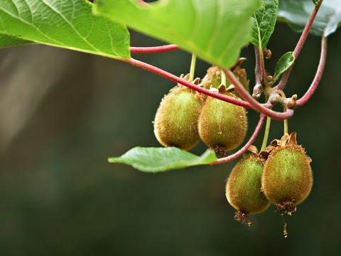 Актинидия (киви) – уход, посадка, выращивание