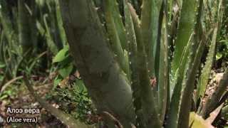 Planeta Organica: в Центральную Америку за Алое Вера, маслом Макадамии и Зеленого Кофе