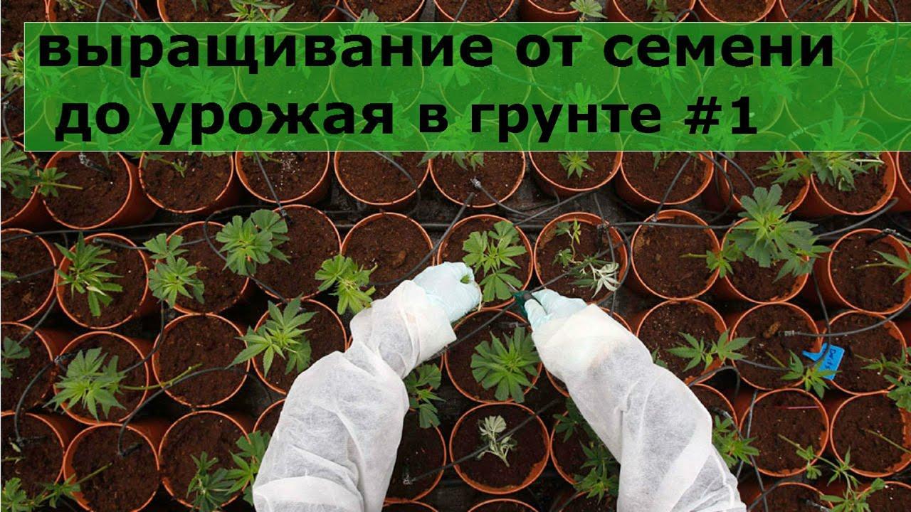 инструкция как выращивать коноплю в домашних условиях