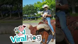 Riding a Huge Horned Steer || ViralHog