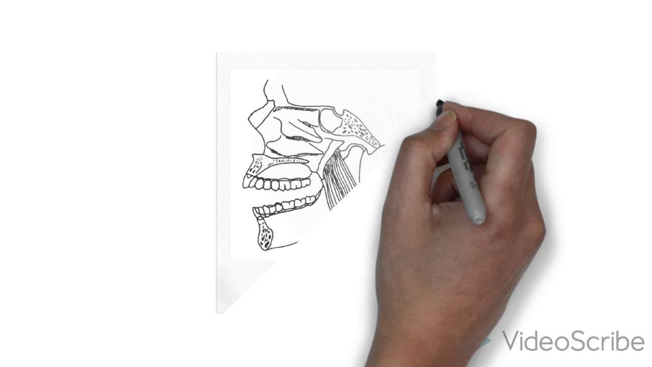 de kauwspieren (Anatomie Pathologie - YouTube