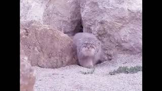 15000 манулов: Один манул, два манула...