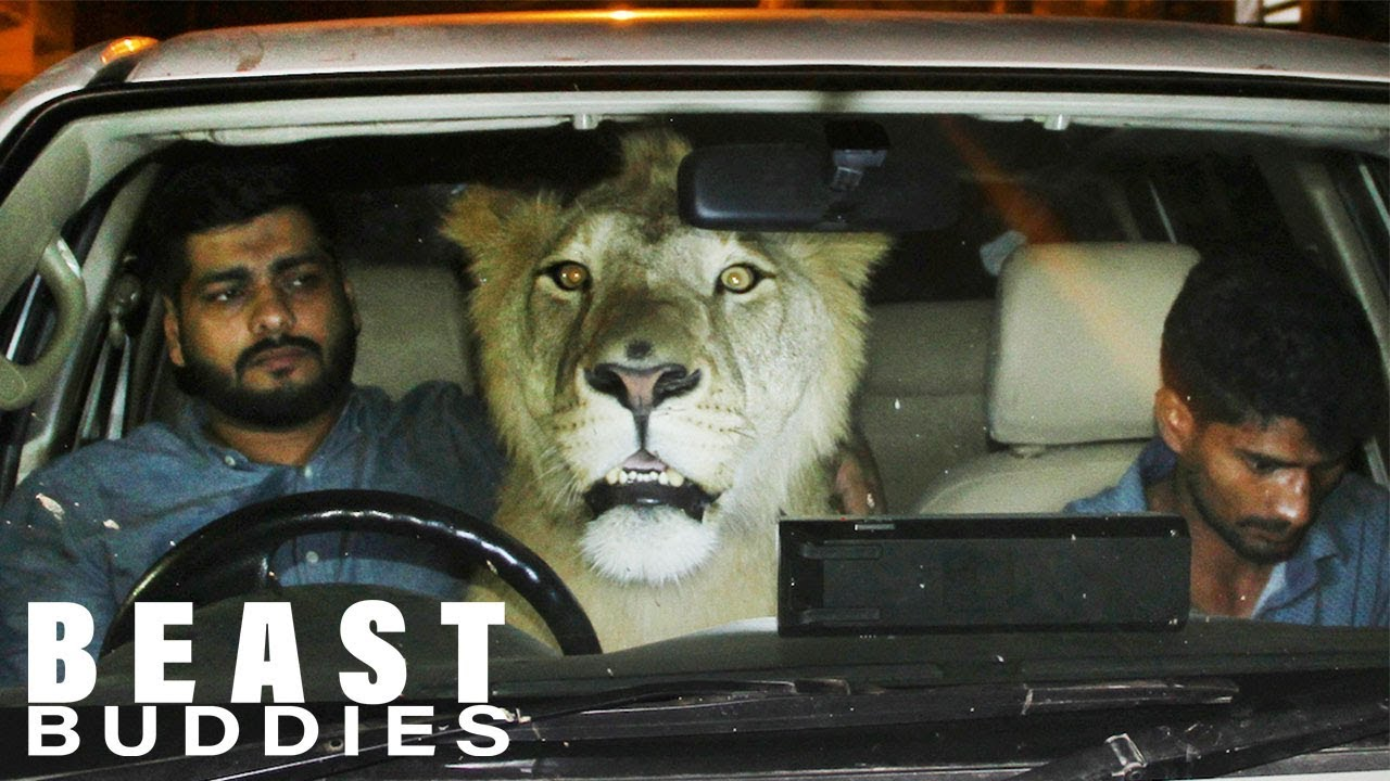 There's A Lion In My Car! | BEAST BUDDIES