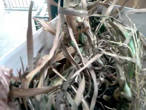 Storing Iris Roots Rhizomes For