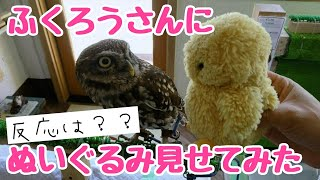 フクロウカフェSAKURAのフクロウ達にぬいぐるみを見せてみました! どん...