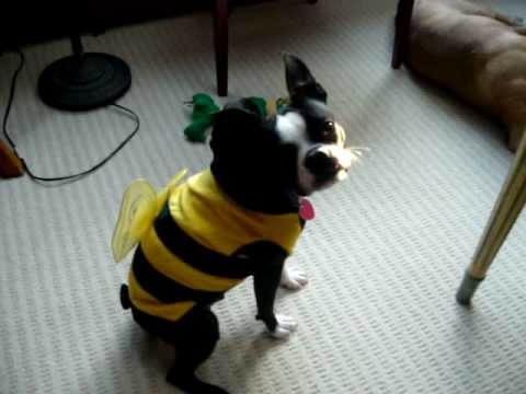 Dog in Bee costume - YouTube
