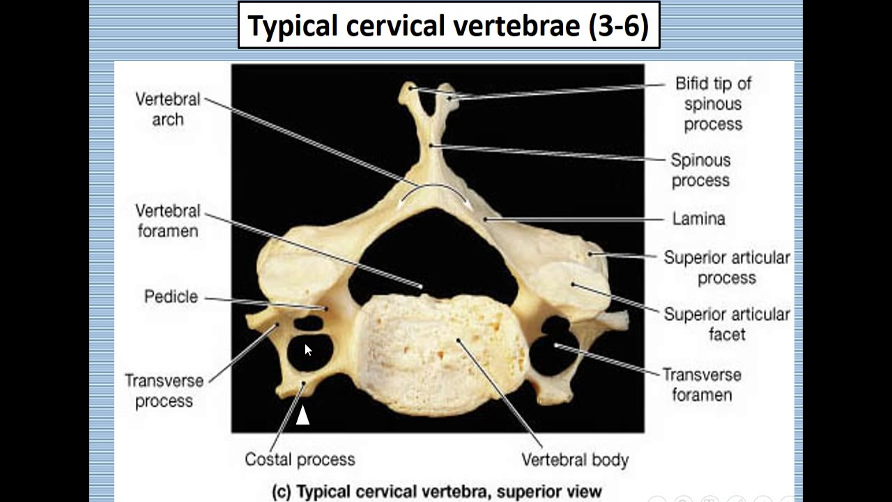 Cervical Vertebrae Youtube