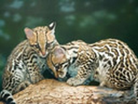 Animal Love Wallpaper Cute Baby Ocelot Kittens Exhibit Intro Youtube