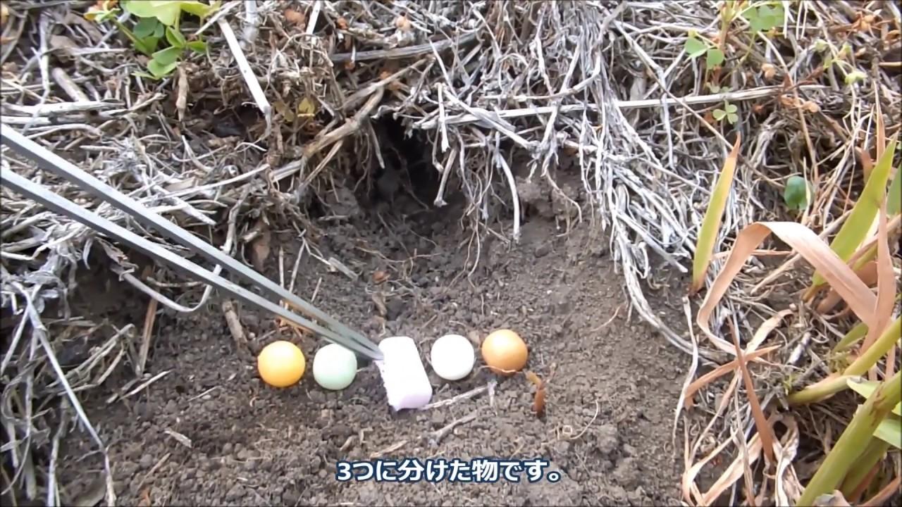 ガムでモグラ駆除 [モグラ駆除][ネズミ駆除] ② Mole mouse extermination with gum