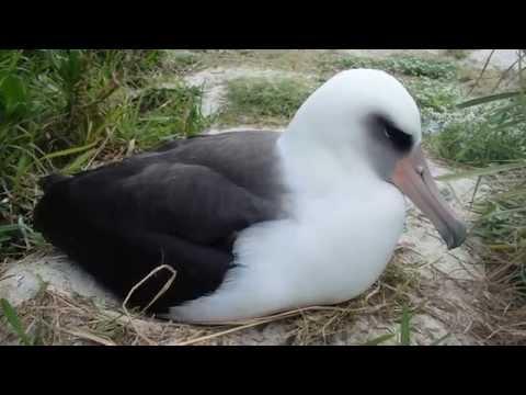 Laysan Albatross Chick Hatching by Bret Wolfe (USFWS)