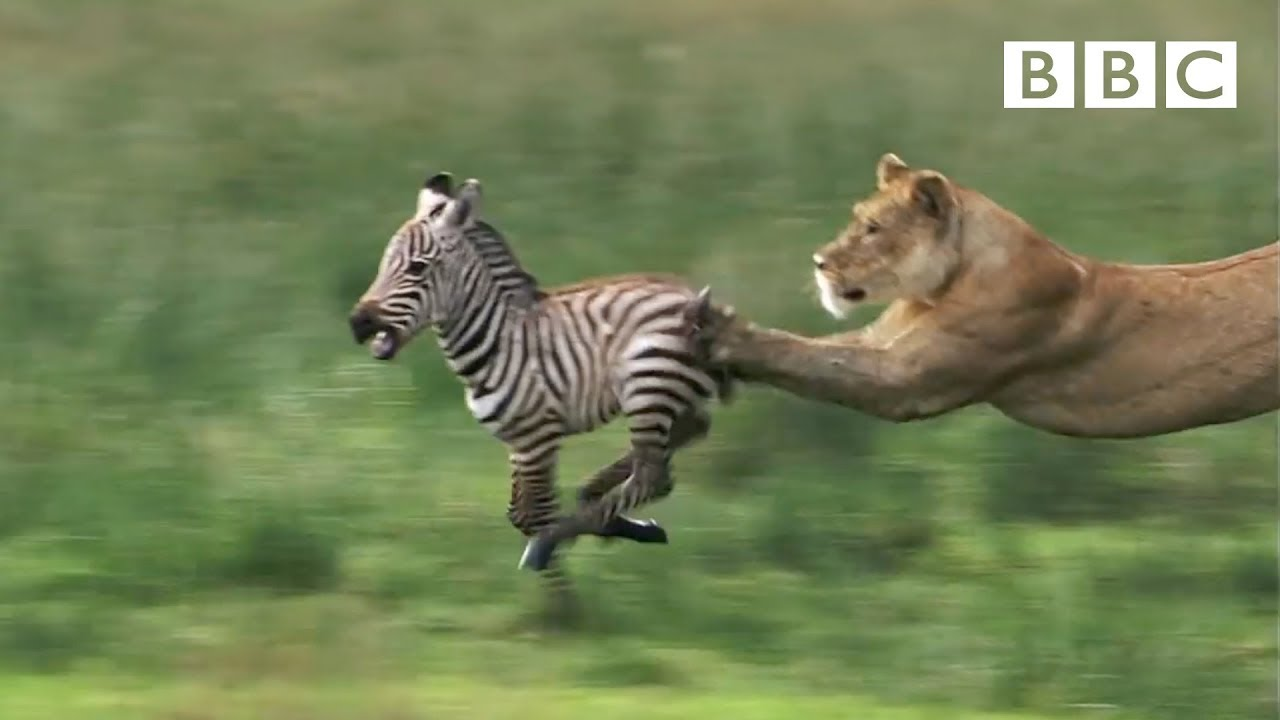 HD: Lioness Hunts Zebra - Nature's Great Events: The Great Migration - BBC  One