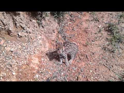 Anak kucing hutan