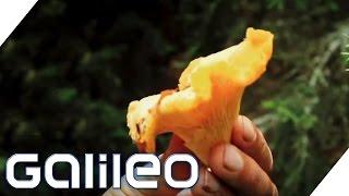 Der Weg der Pfifferlinge | Galileo | ProSieben