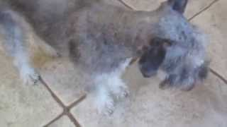 "Schnauzer ""likes"" His Haircut"