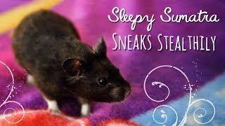 Sleepy Sumatra Sneaks Stealthily! Thumbnail