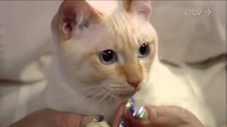 Редкие кошки в студии: смотрите, как резвятся меконгские бобтейлы! (