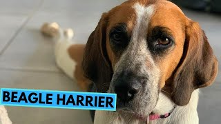 Beagle Harrier  TOP 10 Interesting Facts