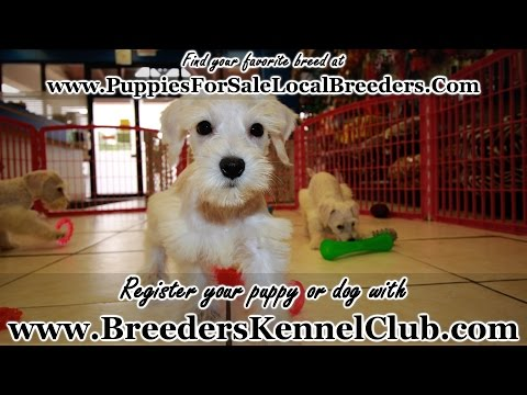 Schnoodle, Puppies, Dogs, For Sale, In Columbus, Macon, Georgia, GA, Athens, Augusta