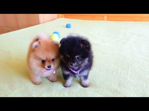 Female Pomeranian Puppies For Sale