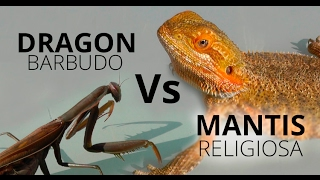 Dragón Barbudo Vs Mantis Religiosa