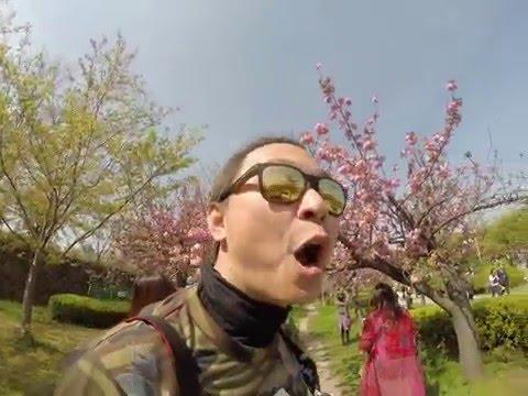 Japan Apr 2016 โอ้โห ซากุระรอบปราสาทโอซาก้า