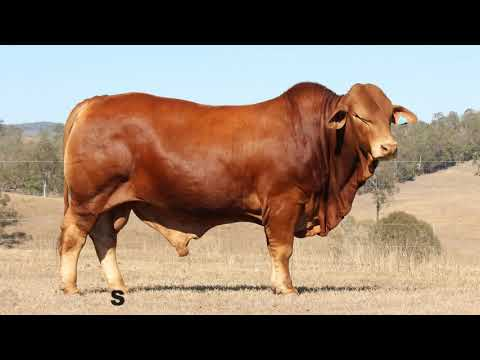 Droughtmaster National Bull Sale Videos