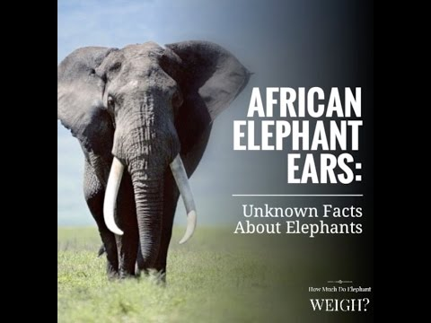 African Elephant Ears: Unknown Facts on Elephants