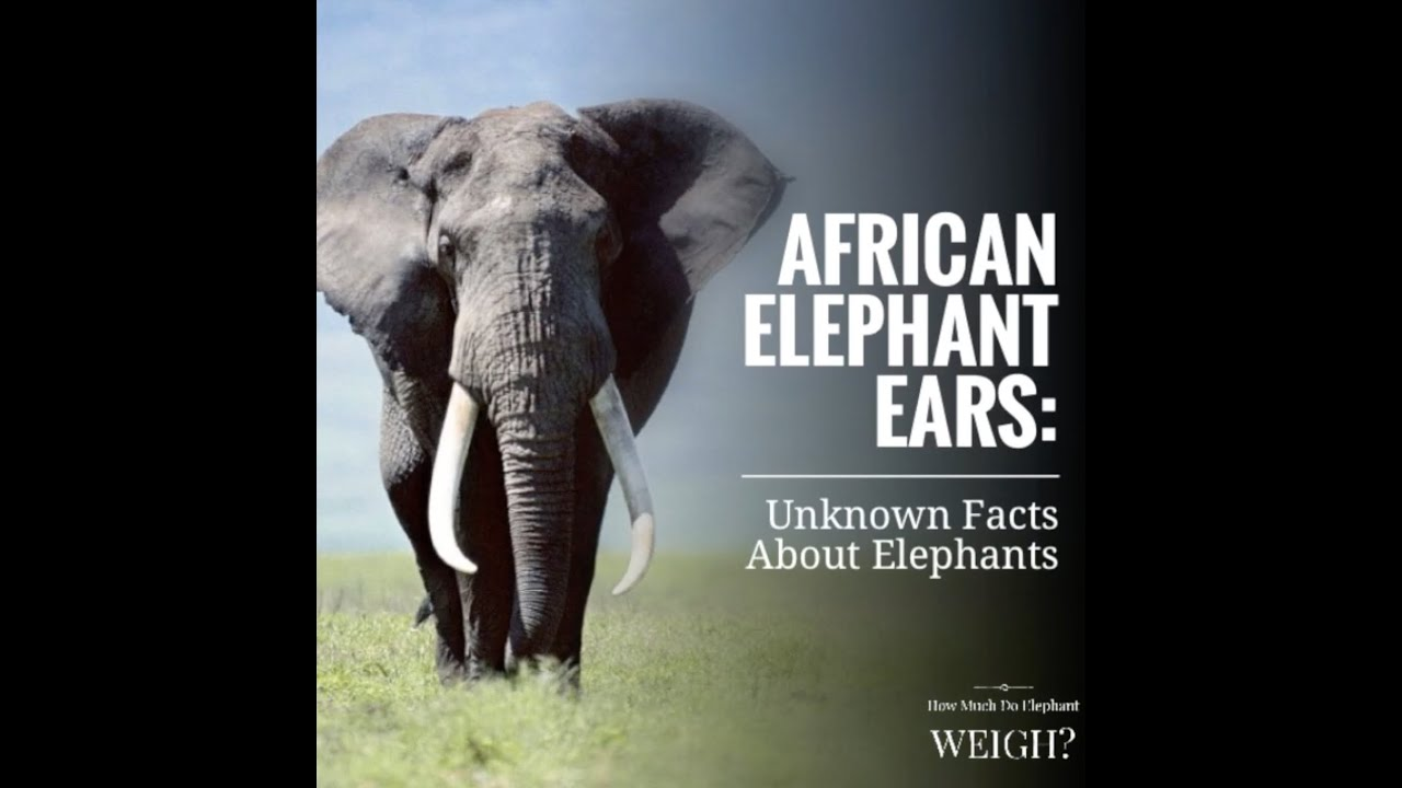 African Elephant Ears Unknown Facts On Elephants Youtube