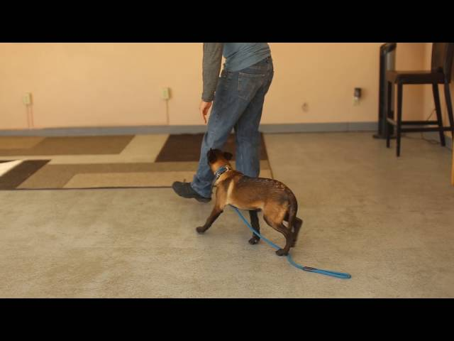 TYD60 Moment- Belgian Malinois- Dog Trainers in Utah