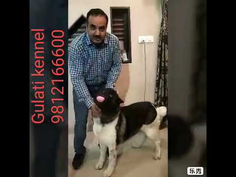 American akita prevent theft, holds thief.Recorded by Cc TV Breeding by Gulati kennel...9812166600.
