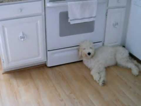 Goldendoodle puppy being naughty