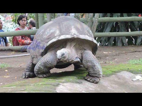 Biggest Land Turtle Aldabra Tortoise Aldabrachelys Gigantea
