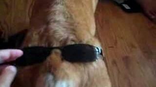 Corgi Butt With Glasses