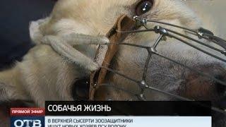Свердловчане спасают пса, неделю просидевшего в капкане