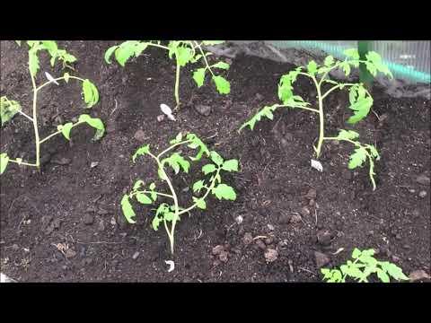 Посадка томатов в грунт. Правила посадки.