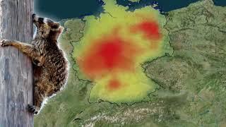 Wildtier-Plage: Warum die hohe Waschbärenpopulation zur Gefahr wird